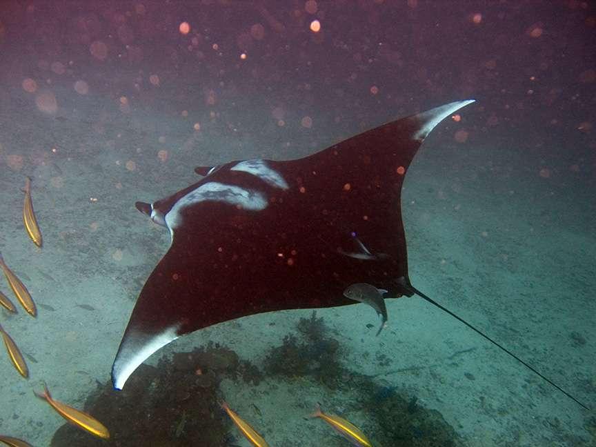 À l'origine, le groupe de plongeurs avait organisé cette sortie de nuit pour observer les raies mantas (Manta birostris). C'est l'une des plus grandes raies au monde, pouvant atteindre 9 m d'envergure. © jon hanson from london, cc by sa 2.0