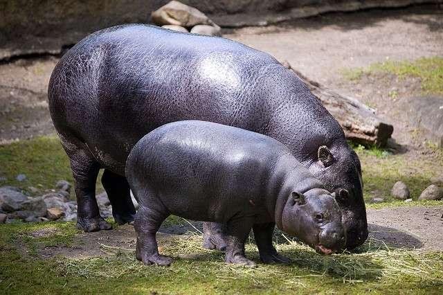 L'hippopotame nain est environ deux fois moins grand que l'hippopotame commun. © Sebastian Niedlich (Grabthar), Flickr, cc by nc sa 2.0