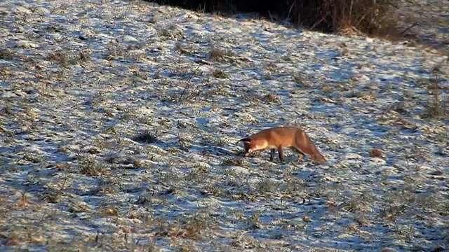 Découvrez le renard roux, ce précieux chasseur de campagnols