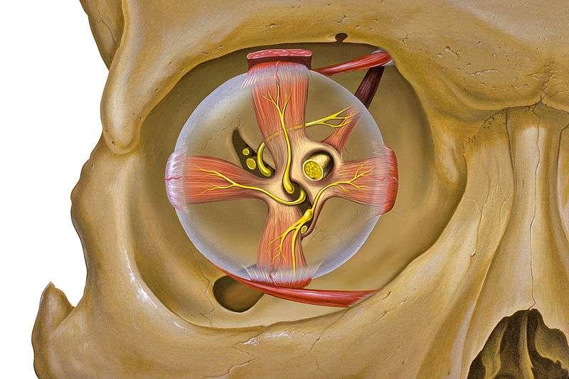 Les yeux se meuvent grâce à l'action coordonnée de six muscles oculomoteurs. © Patrick J. Lynch, Wikipédia, cc by 2.5