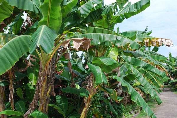 Interdit dès 1976 aux États-Unis, le chlordécone ne l'a été en France métropolitaine qu'en 1990. Il a été utilisé jusqu'en 1993 aux Antilles françaises comme insecticide contre le charançon du bananier. © choyaw99, Flickr, cc by sa 2.0