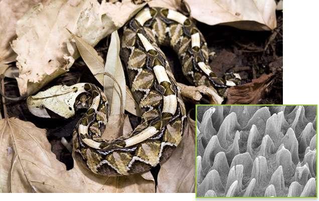 Les microcils qui recouvrent les taches noires la peau de la vipère du « Gabon de l'Ouest » fournissent un meilleur camouflage à l'animal. © Marlene Spinner, 2013, Scientific Reports