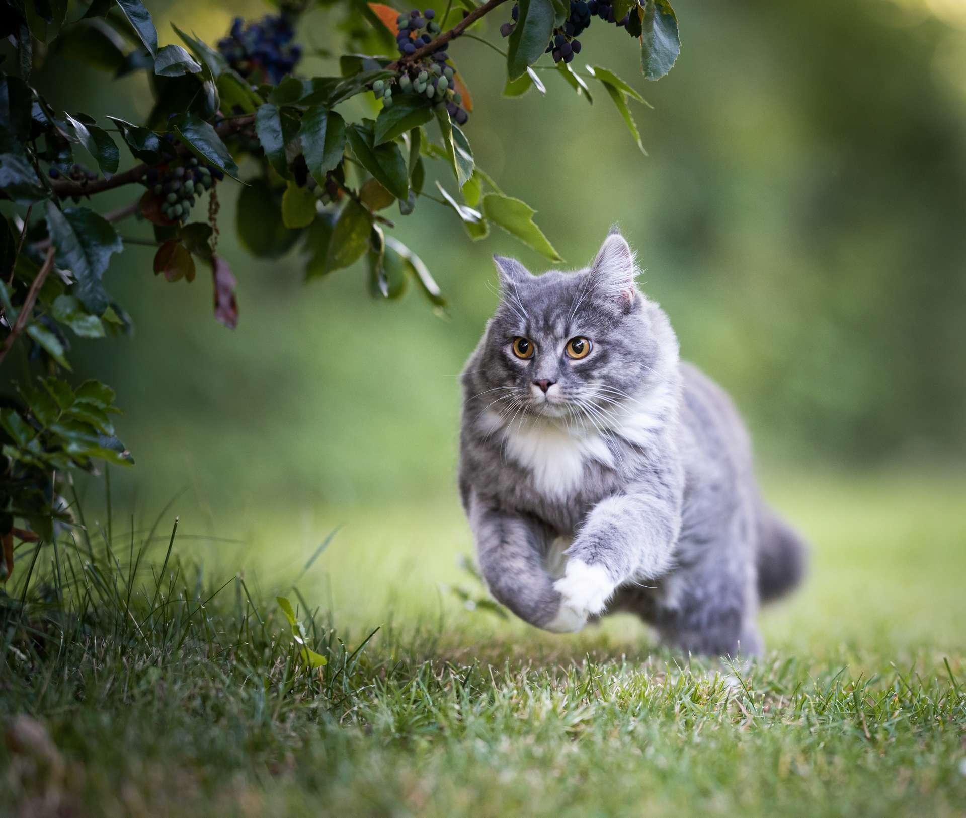 Un chat souffrant d'arthrite ne boite pas et ne miaule pas davantage que d'habitude. Il continue à faire les mêmes activités mais avec un peu plus de difficultés. Une fois traité correctement, il retrouve les mêmes agilités et énergies qu'avant ! © FurryFritz, Adobe Stock