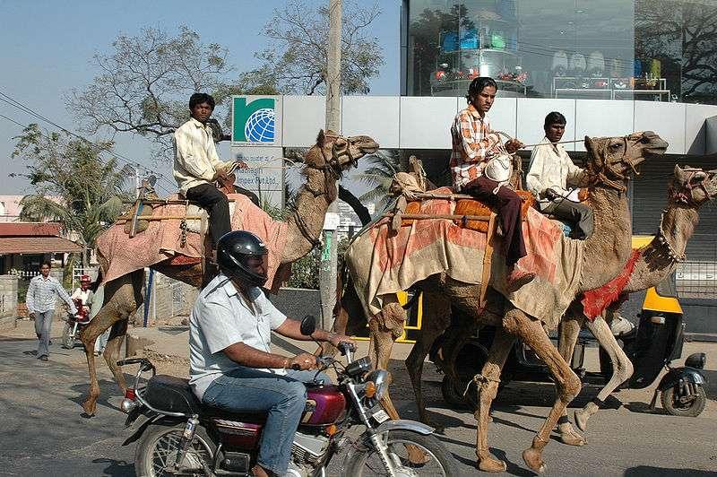 Dromadaire dans les rues de Bangalore, en Inde. © Harrieta 171, Wikipédia, GNU 1.2