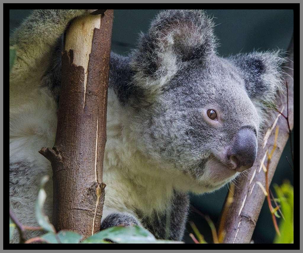 L'Australie abrite des espèces animales uniques au monde. L'une des plus emblématiques est le koala, un petit marsupial qui se nourrit uniquement de feuilles d'eucalyptus. © Sheba_Also, Flickr, cc by nc sa 2.0