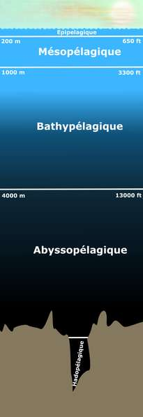 La zone aphotique correspond aux zones situées sous la zone épipélagique. Selon les définitions, la zone mésopélagique peut être incluse (ou non) dans la zone aphotique. © Finlay McWalter, Wikimedia domaine public