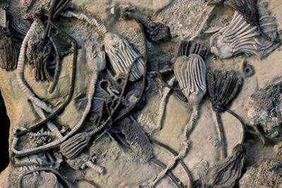 Ces crinoïdes sont vieux de 350 millions d'années. Ce groupe serait cependant apparu voilà 490 millions d'années et a connu un immense succès, comme en témoigne le nombre de leurs fossiles. Plusieurs espèces ont été différenciées sur la base de leur couleur dans l'étude de Christina O'Malley. Elles possédaient toutes des quinones différentes au sein de leurs pores. © William Ausich, université d'État de l'Ohio