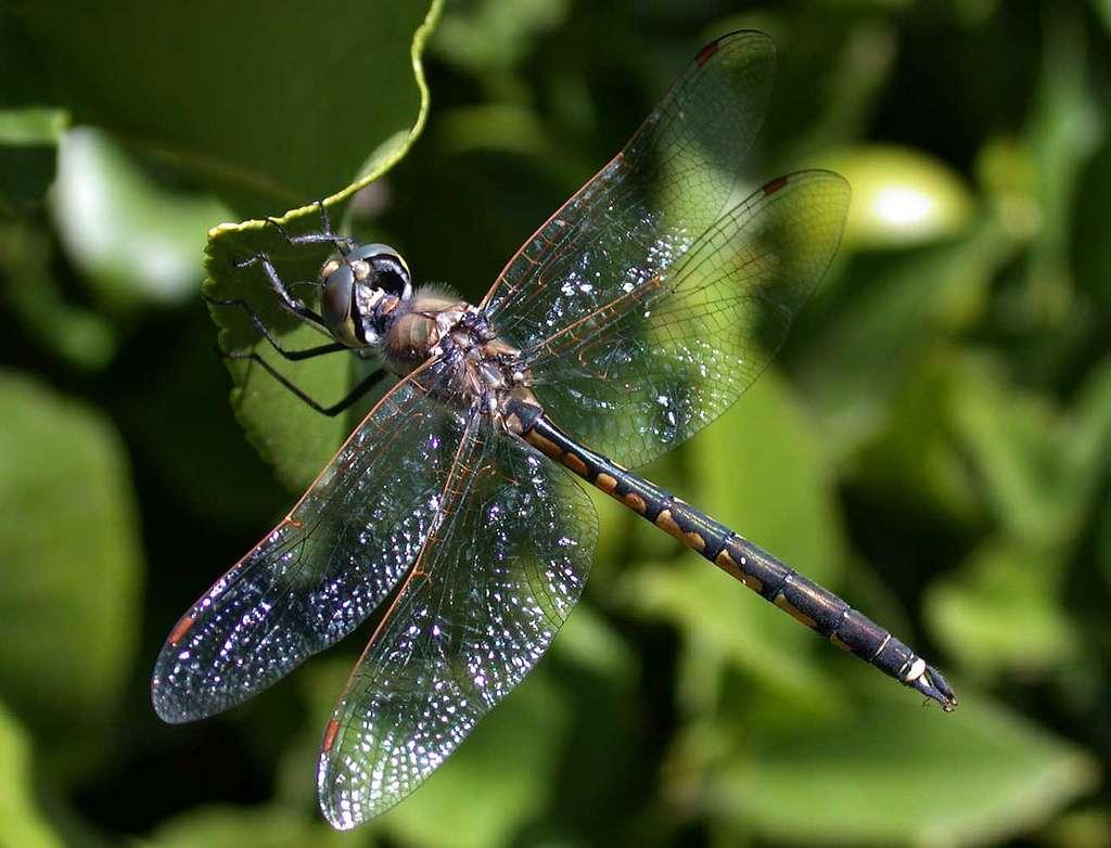 Les libellules du genre Hemicordulia peuvent être observées dans le sud de l'Asie, en Afrique et en Australie. Ces insectes ont une très bonne vision. © boobook48, Flickr, cc by nc nd 2.0