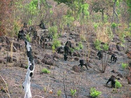 Des chimpanzés dans la savane sénégalaise. Le feu ? Oui c'est dangereux, il faut faire attention. Mais pourquoi paniquer ? © Stephanie Bogart