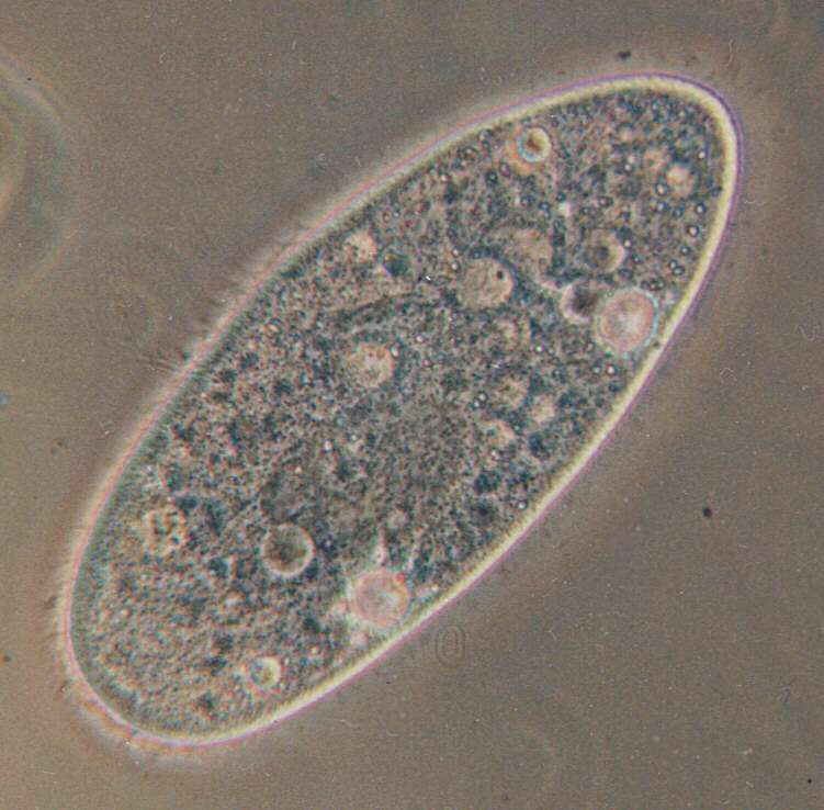 Chez les paramécies, la reproduction sexuée ne suit pas toujours les lois de Mandel. Des chercheurs viennent enfin de mettre le doigt sur le mécanisme mis en jeu dans une forme d'hérédité alternative. © Barfooz, Wikimedia Commons, cc by sa 3.0