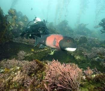 Suivi sous-marin des poissons d'une réserve marine. © Robert Schwemmer/NOAA