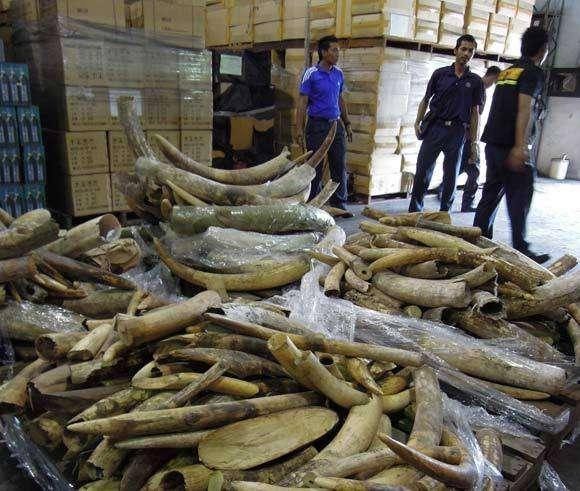 Plus de 23 tonnes d'ivoire ont été saisies en 2011, contre environ 10 tonnes l'an dernier. © Elizabeth John, Traffic