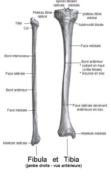 La fibula et le tibia sont des os parallèles de la jambe. © Bérichard, Wikimedia, CC by-sa 3.0