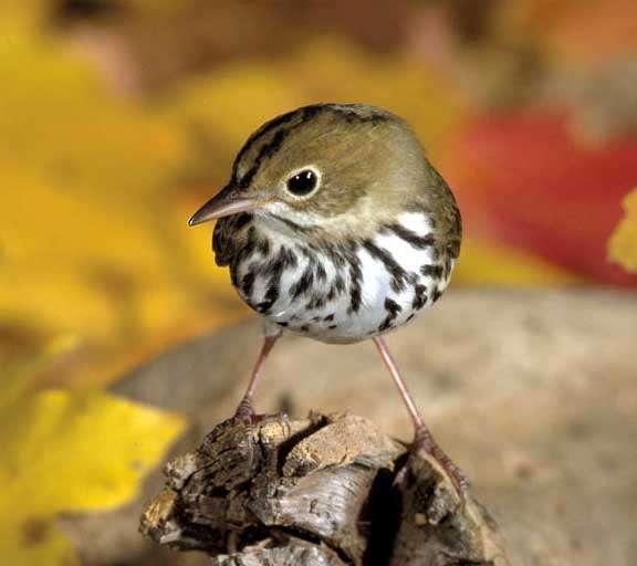 La Paruline couronnée est un petit oiseau insectivore qui niche au sol. Il migre entre l'Amérique du nord et l'Amérique centrale. © U.S. Fish and Wildlife Service, domaine public
