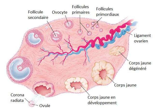 C'est dans les ovaires que l'ovulation a lieu. © DR