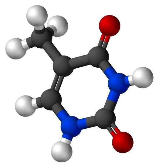 La thymine est une base pyrimidique. © Vesprcom, Wikimedia, domaine public