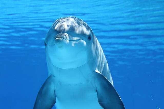 Les dauphins sont capables de se diriger grâce aux rebonds des ultrasons qu'ils envoient. © Claudia14, Pixabay, DP