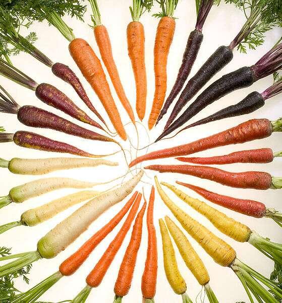 Les carottes doivent leur couleur à la présence de caroténoïdes, comme les ß-carotènes, dans leurs tissus. Les carotènes sont des caroténoïdes non oxygénés. © ARS, Stephen Ausmus, Wikimedia common, DP