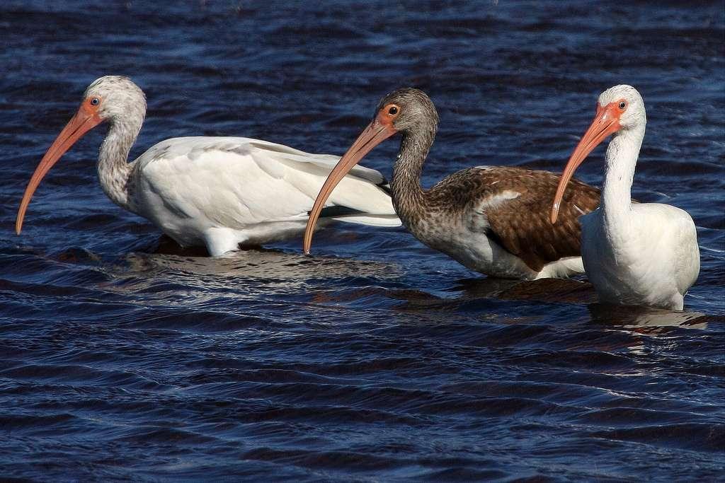 L'ibis blanc se déplace en groupes plus ou moins nombreux. © gr8dnes, CC BY-ND 2.0