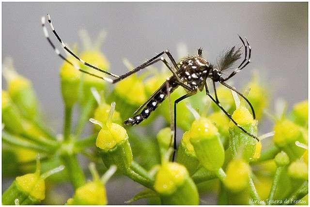 Aedes aegypti est responsable de la transmission du virus de la dengue, mais une bactérie pourrait bien l'en empêcher. © Marcos Texeira de Freitas, Flickr, cc by nd 2.0
