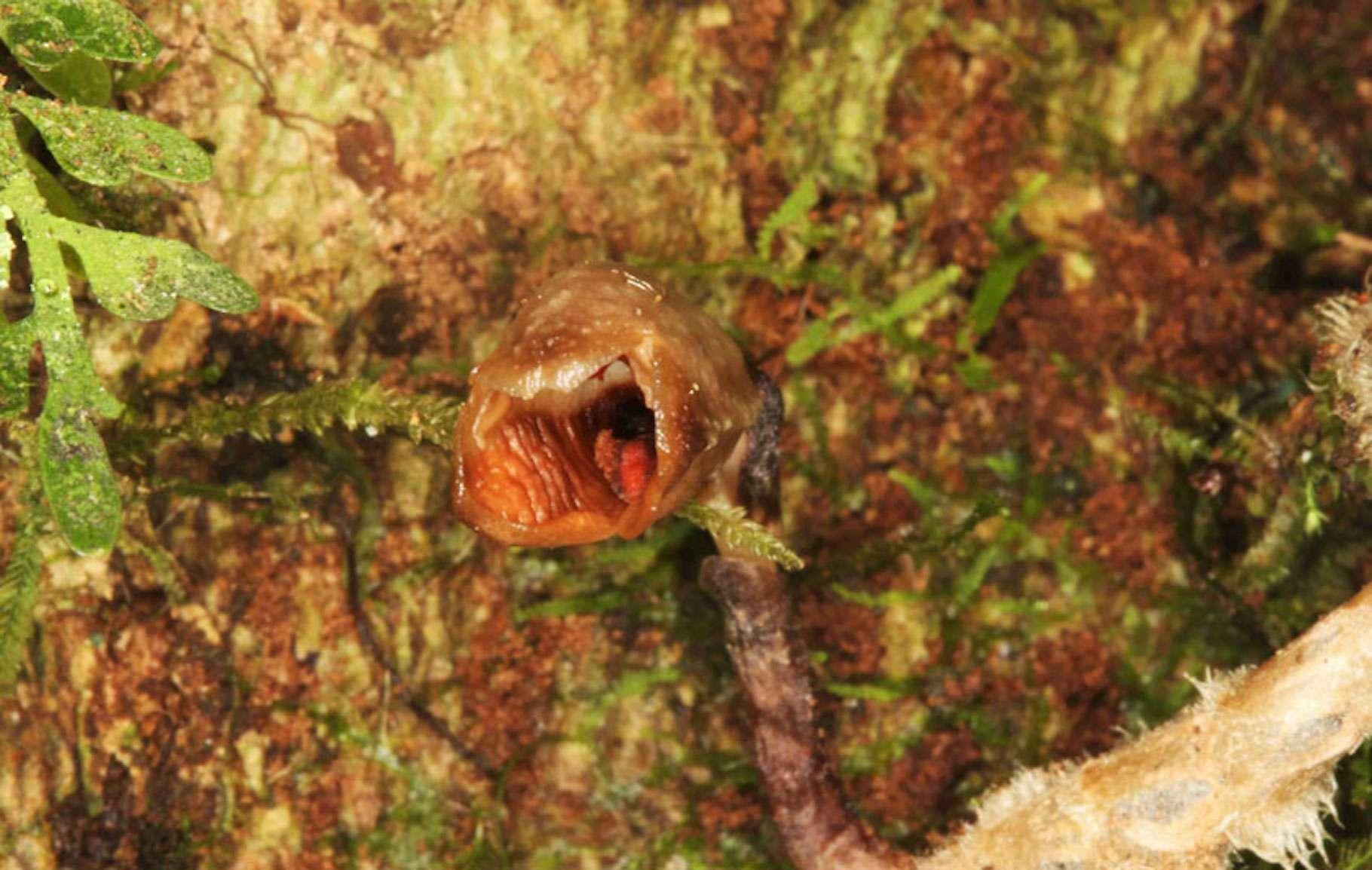 Gastrodia agnicellus, nouvellement découverte à Madagascar en 2020, devient l'orchidée la plus moche du monde. Évoluant sur une aire de répartition réduite et en déclin, elle a immédiatement été classée parmi les espèces menacées. © Rick Burian, Jardins botaniques royaux de Kew