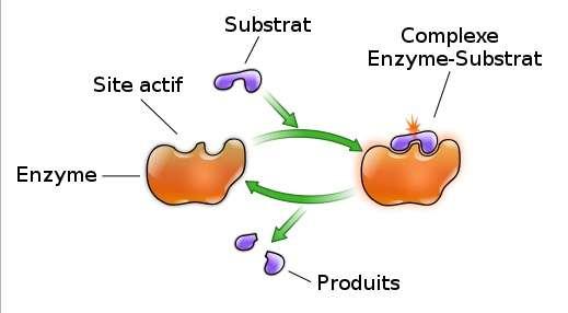 Le site actif d'une enzyme est le lieu de la réaction enzymatique. © YassineMrabet, Wikimedia, CC by-sa 2.5