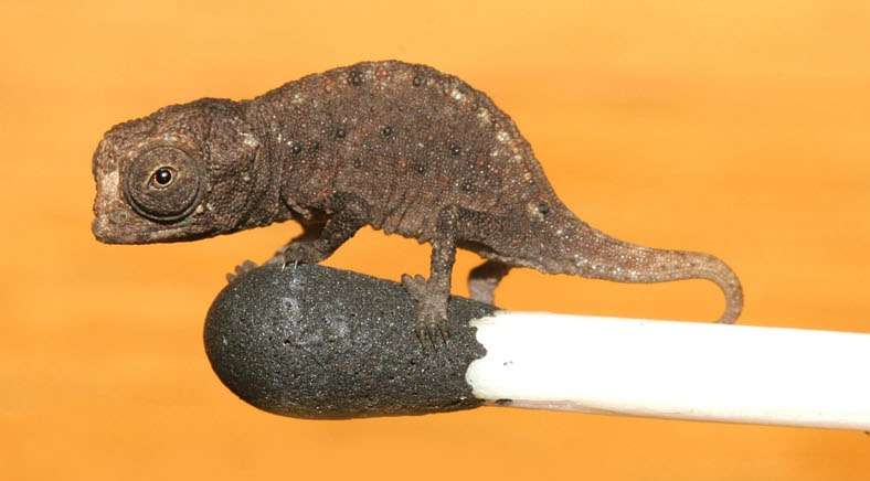 Brookesia micra est la plus petite brookésie connue et les juvéniles mesurent environ 1 centimètre. © Glaw et al. 2012, Plos One