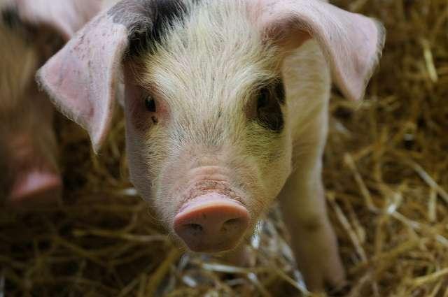 « Dans le cochon, tout est bon... » Mais sans gras, ce serait tellement mieux. © Tim Ellis, Flickr, cc by nc 2.0
