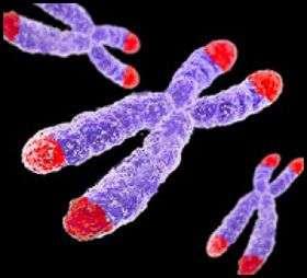 Les télomères sont situés aux extrémités des chromosomes, et raccourcissent au fil des divisions cellulaires. © UBC, Université de la Colombie-Britannique