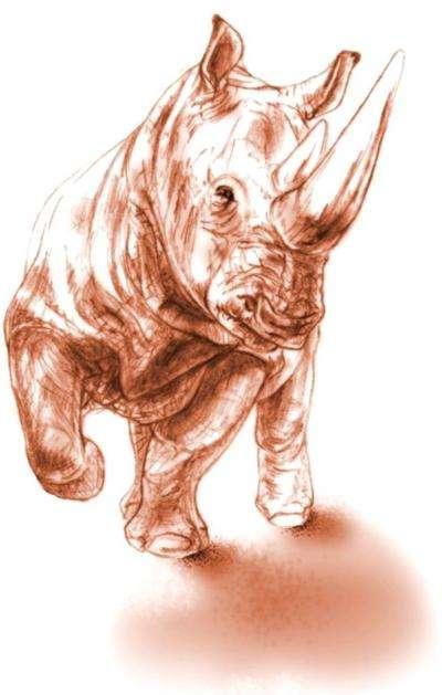 Ceratotherium neumayri a vécu durant le Miocène supérieur. Il pourrait être l'ancêtre des rhinocéros blancs et noirs d'Afrique. © Reconstruction de Maëva J. Orliac