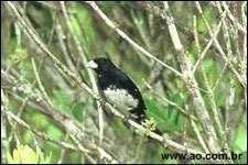 Tangara de Berlioz (Conothraupis mesoleuca ) mâle, P. N. das Emas, Brésil