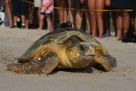 Cette tortue va reprendre la mer après avoir pondu. Elle a été équipée d'une balise satellite. Aux États-Unis, près d'un nid de caouanne sur quatre est creusé sur la plage de l'Archie Carr National Wildlife Refuge en Floride. © University of Central Florida