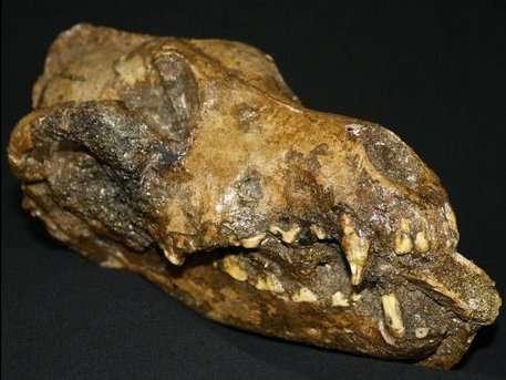 Des ossements de crânes de chien datant de 26.000 ans en disent long sur les rites pratiqués par les humains et confirment l'époque de la domestication des chiens. © Mietje Germonpré