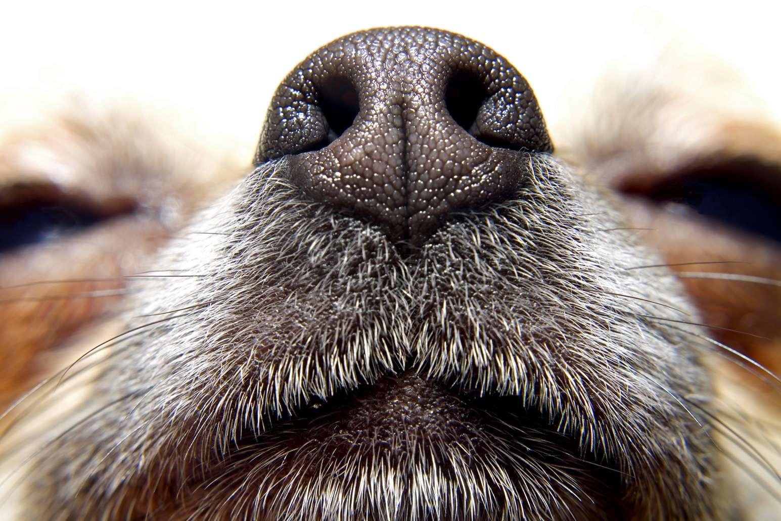 L'odorat des chiens est redoutable pour identifier une personne suspecte. © bimka, Shutterstock