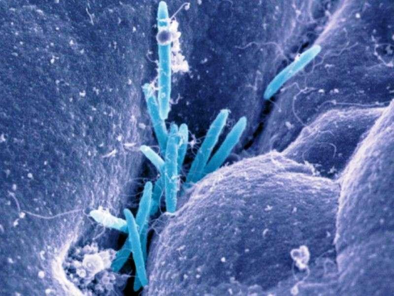 Cette image en fausse couleur a été obtenue avec un microscope électronique. Elle montre des bactéries du genre Clostridium (~ 3,5 micromètres) dans le côlon de souris. © Kenya Honda, Department of Immunology, University of Tokyo