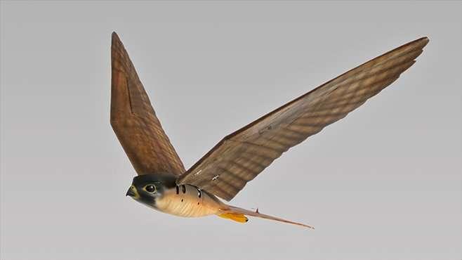 Le Robirds est un robot rapace qui imite le vol et l'aspect du faucon pèlerin. L'idée de ses concepteurs est d'éloigner durablement les oiseaux nuisibles d'une zone donnée en leur faisant croire qu'un prédateur y sévit. © Clear Flight Solutions