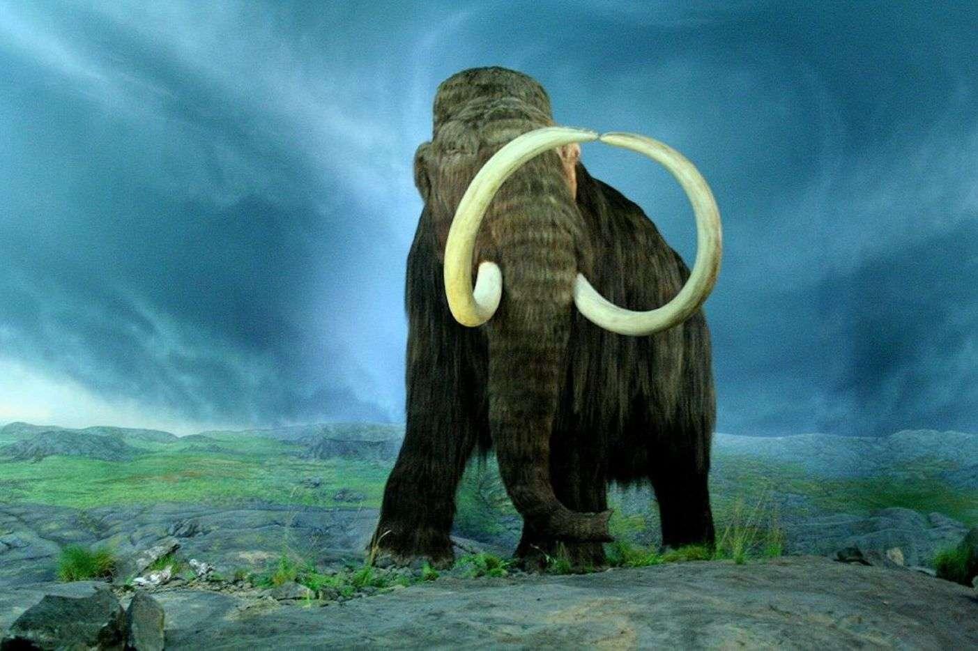 Les premières espèces de mammouths sont apparues il y a environ 4 millions d'années et les tout derniers spécimens ont disparu il y a moins de 4.000 ans. En une trentaine de lieux, on a retrouvé des amoncellements de squelettes, qui pourraient être le fait d'Hommes préhistoriques, épaulés par des chiens. © Tracy O, Wikipédia, cc by sa 2.0