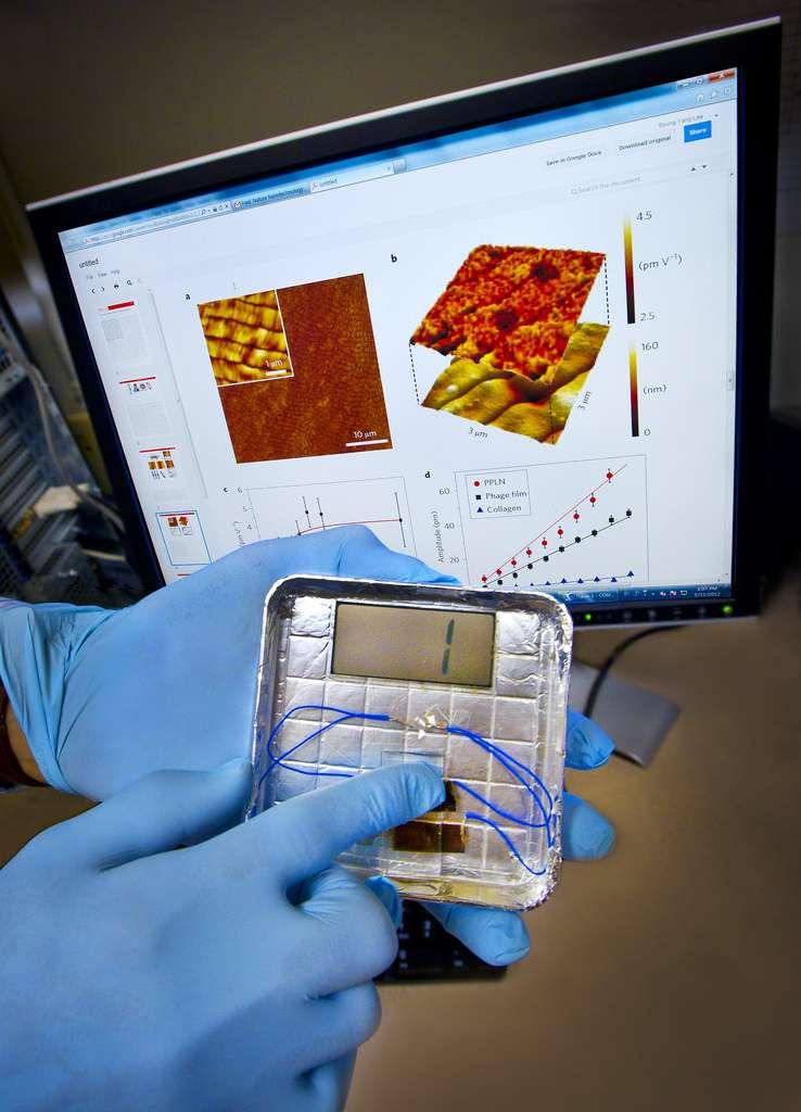 L'électricité utilisée pour faire flasher ce chiffre 1 est fournie par des virus bactériophages. Ils sont pris en sandwich entre deux électrodes recouvertes d'or et soumis à une pression effectuée par le doigt de l'opérateur. Des virus seront-ils bientôt intégrés dans nos sols, nos chaussures ou nos sièges de bureau pour alimenter nos appareils électroniques ? © Berkeley Lab
