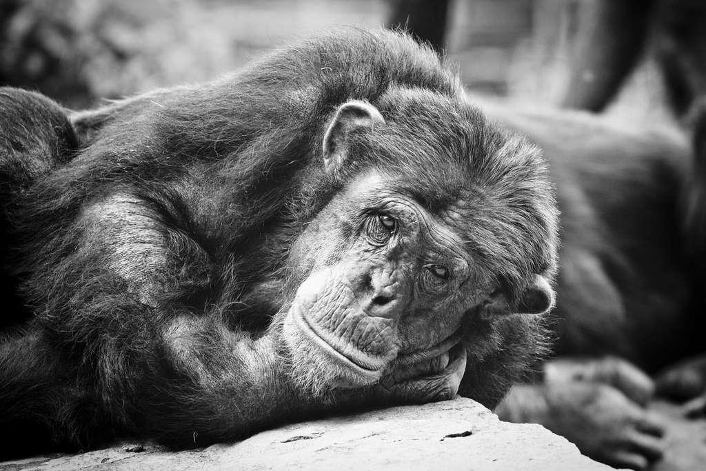 Les chimpanzés pourraient détenir quelques-unes des clés qui ouvriront les portes de la compréhension de l'origine de notre langage articulé. Leurs vocalisations contiennent de l'intentionnalité. © Gerwin Filius, Flickr, cc by nc nd 2.0