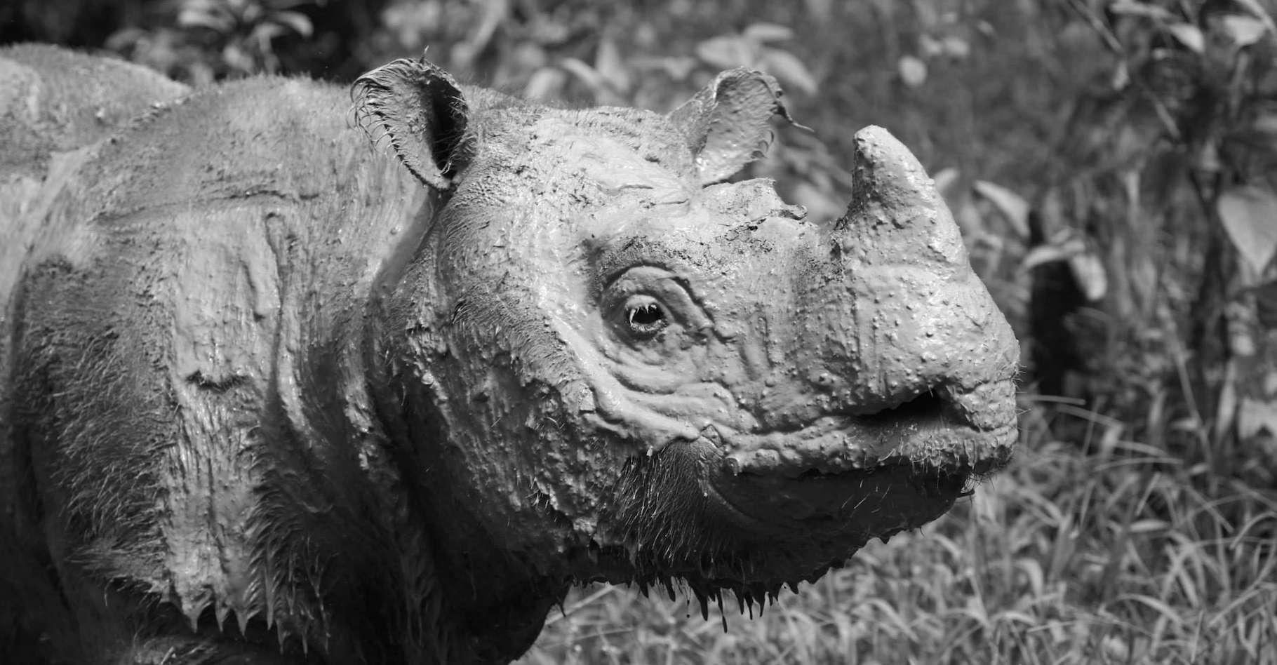 Tam était un rhinocéros de Sumatra. Le rhinocéros de Sumatra est le plus petit des rhinocéros. Son poids moyen est tout de même de 700 à 800 kilogrammes. © Borneo Rhino Alliance, Facebook
