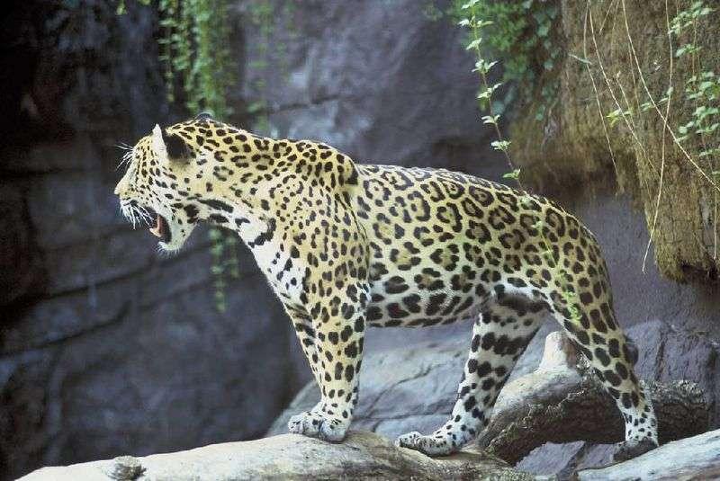 Photo d'un jaguar. © US Fish & Wildlife Service, domaine public