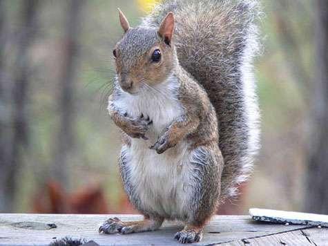 L'écureuil gris (Sciurus carolinensis) est originaire d'Amérique du Nord. Importé en Europe, il a apporté avec lui un virus qui décime les populations européennes d'écureuils roux. © Ken Thomas, domaine public