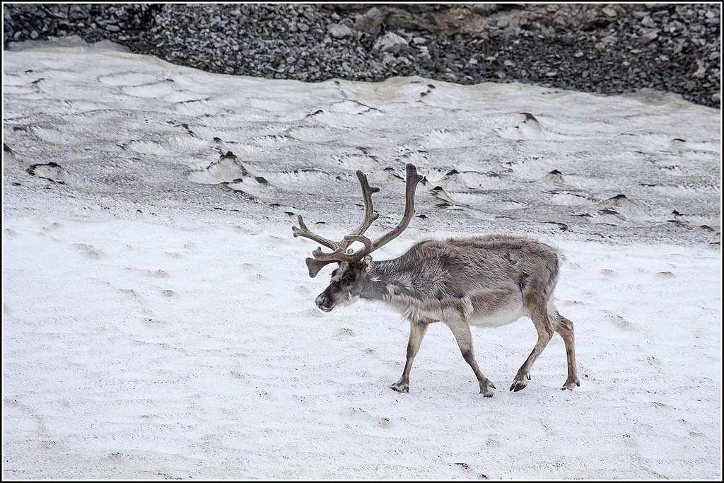 Le réchauffement climatique poursuit ses dégâts en Arctique, où les rennes sauvages ont vu leur population réduite de moitié en 20 ans. © Smudge 9000, Wikimedia Commons, CC By-SA 2.0