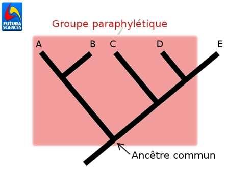 Dans ce cladogramme, la sélection rouge est paraphylétique car elle n'inclut pas tous les descendants de l'ancêtre commun (E est exclu du groupe). © Quentin Mauguit, Futura-Sciences