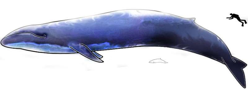 La baleine bleue est le plus grand animal marin à avoir jamais existé. Seuls certains dinosaures sauropodes, aux dimensions hypothétiques, peuvent lui disputer le titre de plus grand animal de la planète. © T. Bjornstad, Wikimedia domaine public