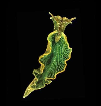 La limace de mer Elysia chlorotica a l'apparence d'une feuille d'un vert foncé. C'est le résultat de son recyclage des chloroplastes de ses proies (Vaucheria litorea) dans son tube digestif, mais aussi de sa propre synthèse de chlorophylle. © Mary S. Tyler / PNAS