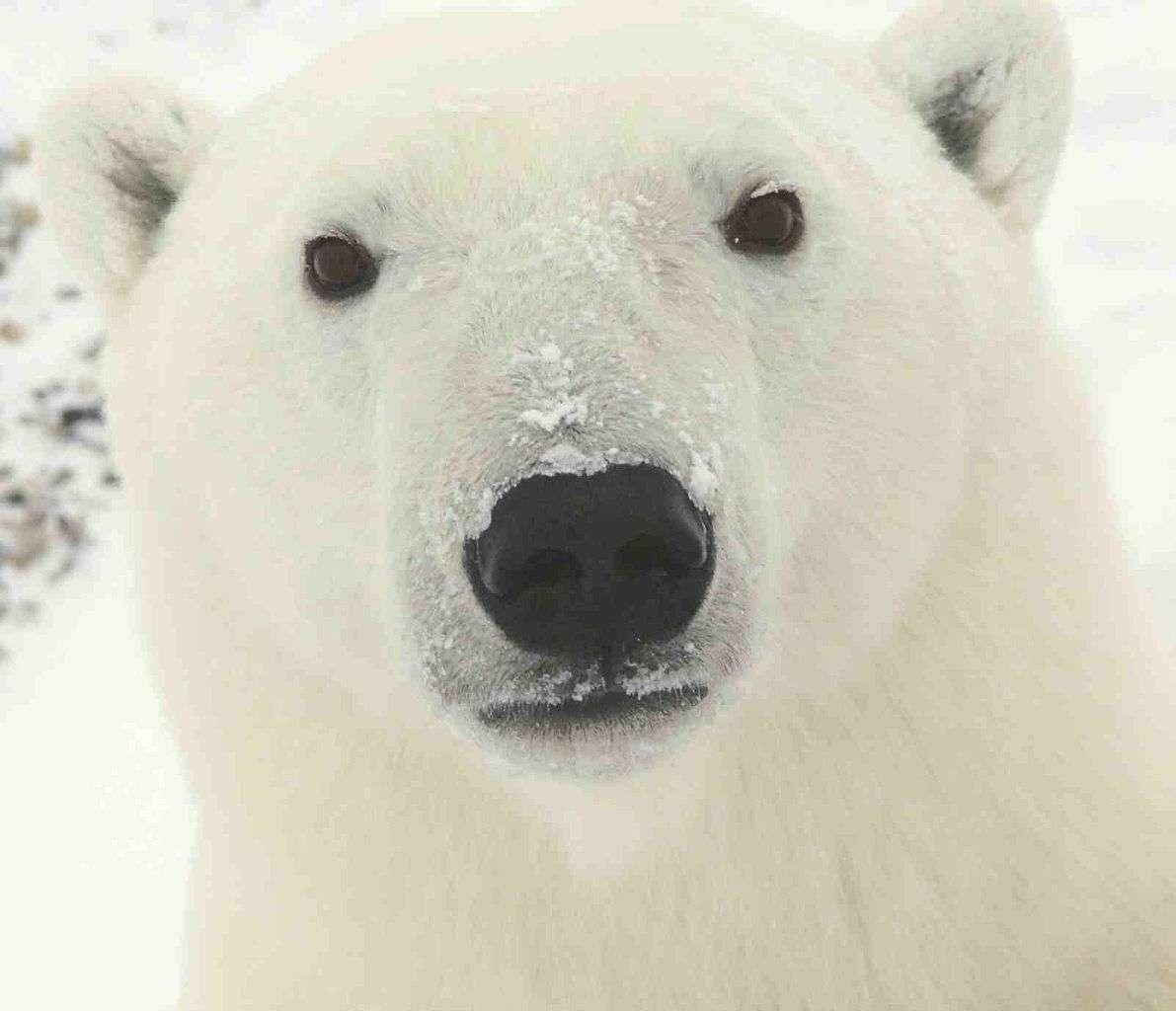 Le yéti pourrait être un ours plutôt qu'un hominidé, comme certains le supposaient déjà, si jamais les échantillons récoltés émanent bien de la bête mythique. Serait-il un hybride entre un ours brun et un ours polaire ? © Ansgar Walk, Wikimedia Commons, cc by sa 3.0