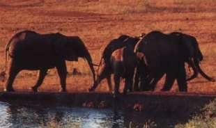 Les éléphants du Kenya poursuivis par satellite