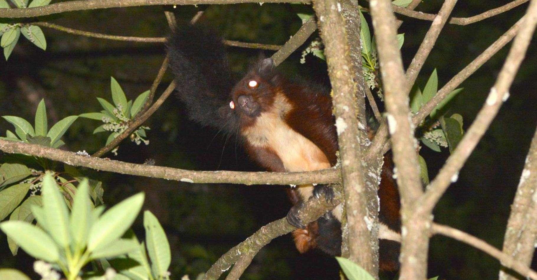 Des chercheurs ont découvert en Chine une espèce jusqu'alors inconnue d'écureuils volants. © Kadoorie Farm & Botanic Garden Hong Kong