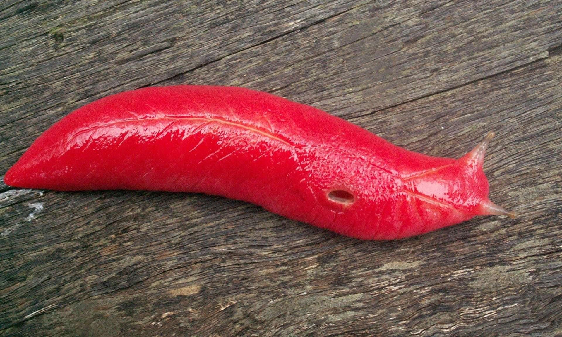 La limace rose fluorescente est endémique du Mont Kaputar en Nouvelle-Galles du Sud et a survécu aux incendies qui ont ravagé son habitat en décembre 2019. © Michael Murphy, AFP